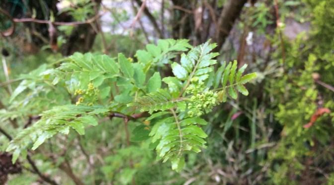 山椒の若芽