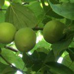 夏に向けて梅シロップや梅酒、梅干し作りませんか?