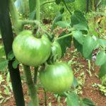 1つのトマトの苗から苗を増やしませんか?