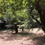 【収穫体験】すぅさんの栗畑で大きな栗を拾いに来ませんか?-2016年9月3日、11日-