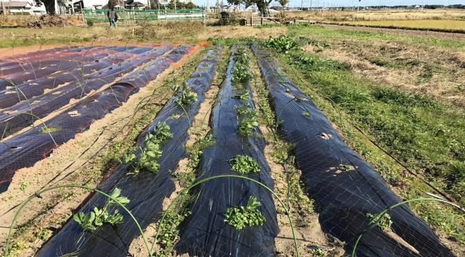 空豆の種付けから2カ月