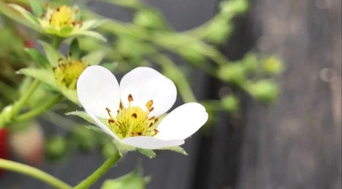 いちごの花の紹介