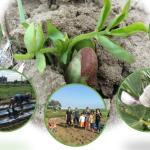 豆・豆体験しま〜すー空豆収穫&落花生種付け
