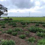 【豆・豆体験】恵の雨のおかげで大きくなって来ました
