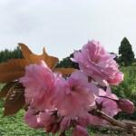 耕作放棄地に秦野市の八重桜を咲かせよう♪ー八重桜の絆プロジェクト-
