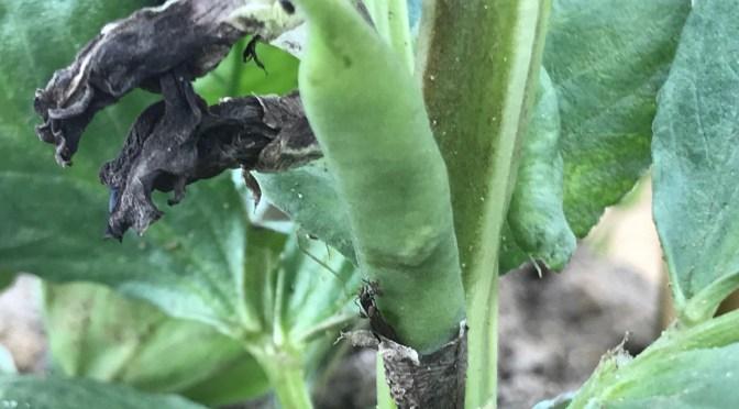 【豆・豆体験】空豆のベビー誕生