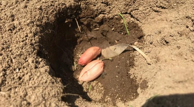 【落花生畝オーナー】種蒔きしました
