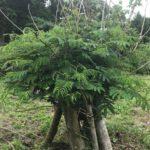 ゴーヤツリープロジェクト