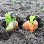 【豆豆体験】落花生を蒔いて、空豆収穫しよう♪