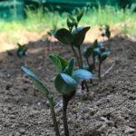 大豆の芽が揃いました