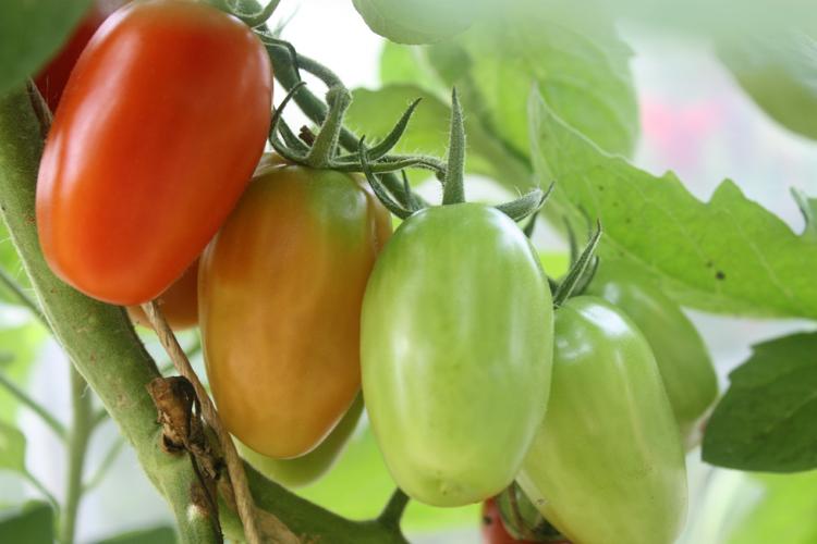 hoop house tomatoes