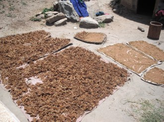 Drying millet