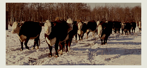 Some of our Hereford cows.  Yes, they are ALWAYS hungry, and they ALWAYS come first!