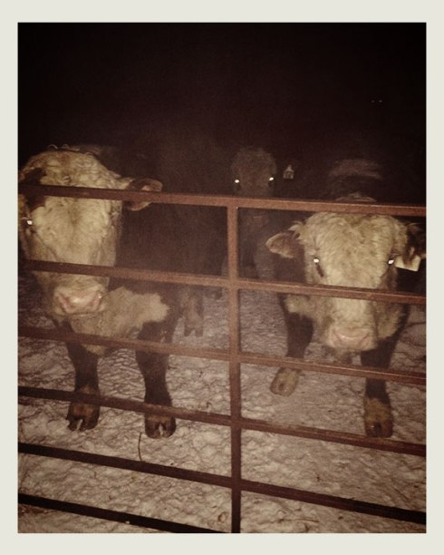 Back where they belong! I can't breathe! Just chased them for 30 mins through 10 foot snowbanks!