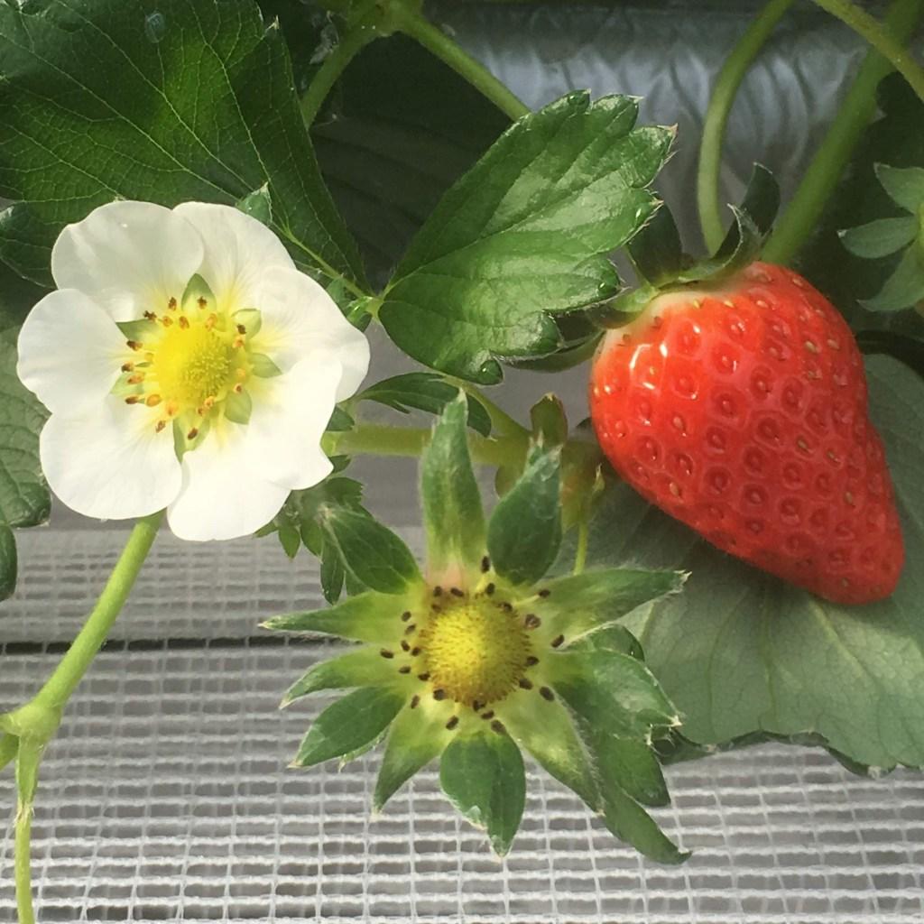 いちごの花から果実まで