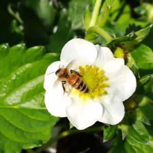 ミツバチの世話