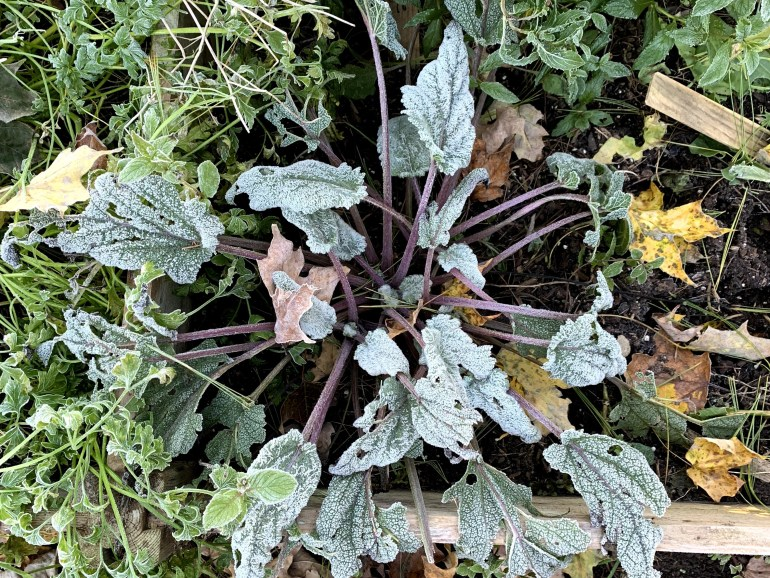 Clary sage plant in frost