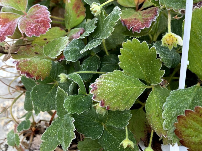 Morning frost on strawberry buds