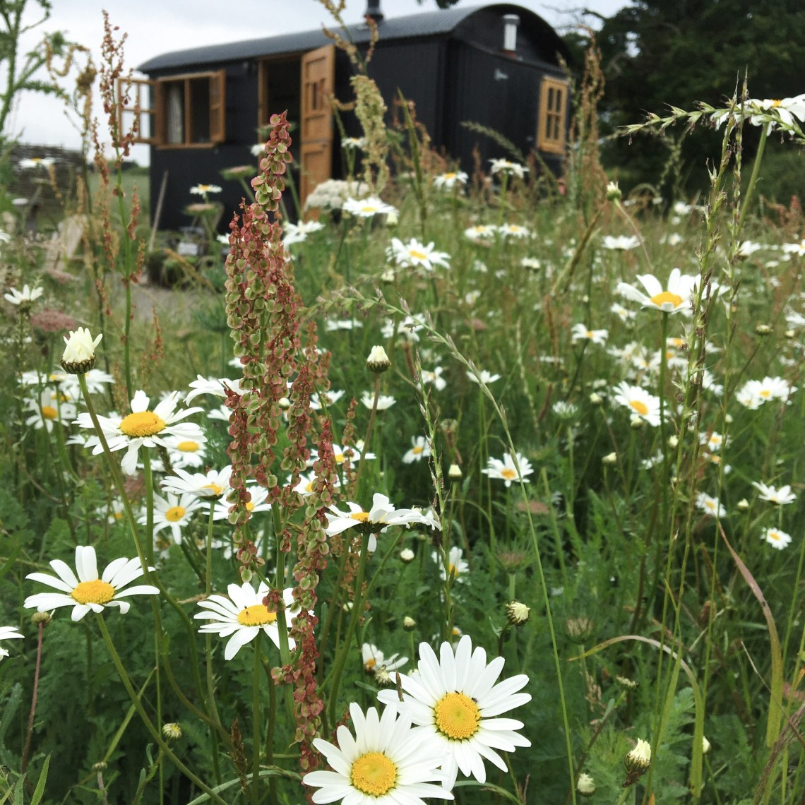 focused on Wild flower meadows with a black shepherd hut behind it