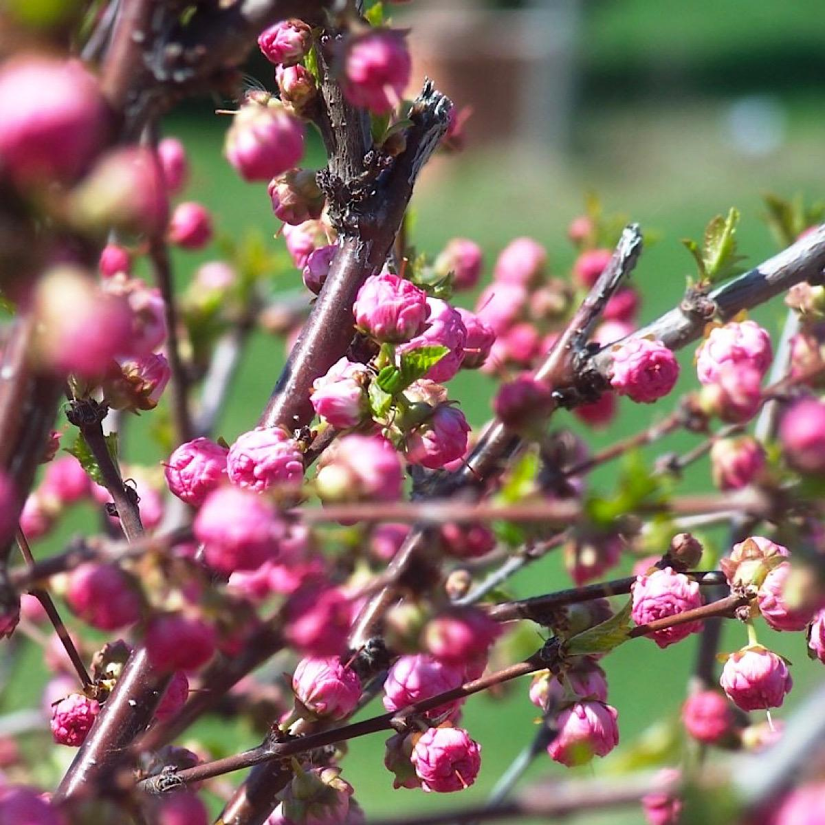 Cherry blossom tree signaling best time to plant vegetables in Zone 4