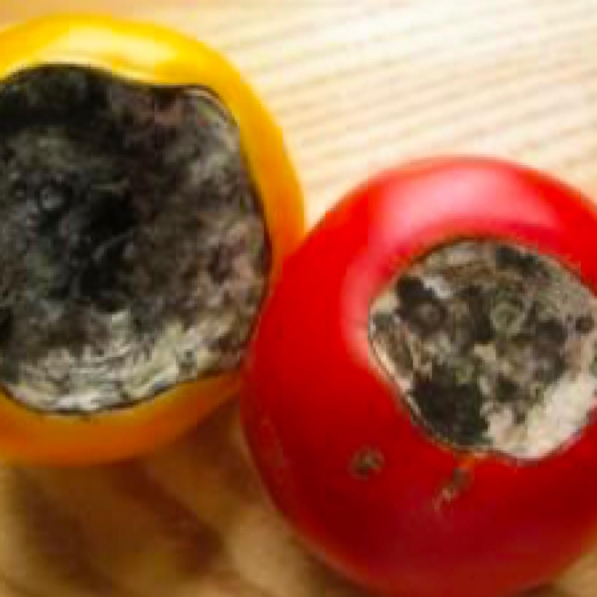 Tomatoes showing blossom end rot disease