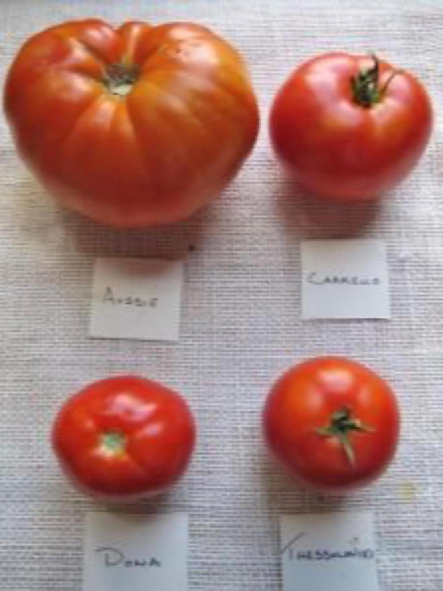 Four popular varieties of heirloom tomatoes