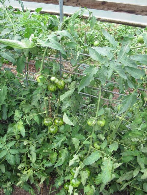 Hogwire trellis system for tomatoes