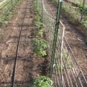 Fencing system of supporting tomato plants