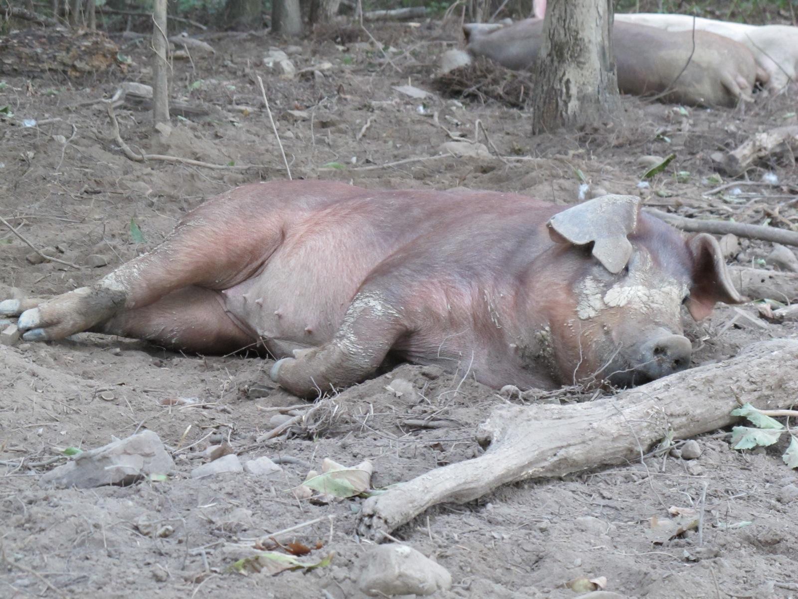 Woodland Pork