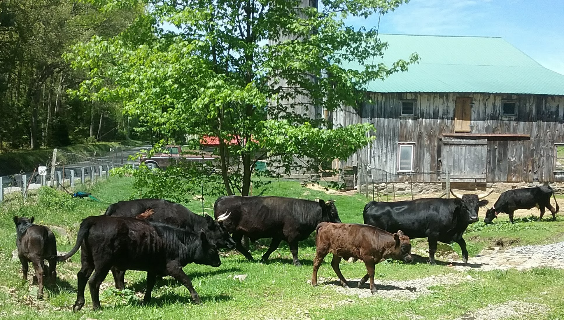 Our Dexter Cattle
