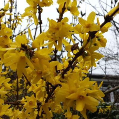 Forsythia intermedia 'Weekend'