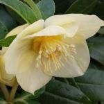 single golden nectaries