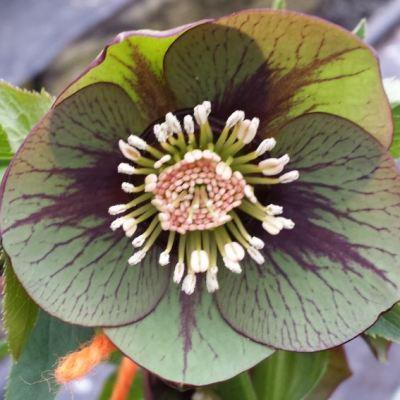 Helleborus x hybridus single green veined