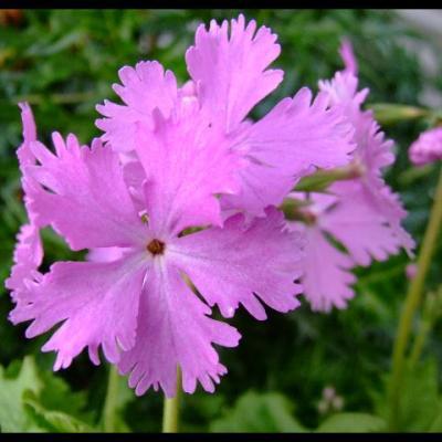 Primula-sieboldii-Pink-Laced.jpg