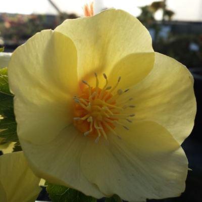 Helleborus x hybridus single primrose with gold nectaries