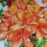 Azalea 'Golden Eagle'