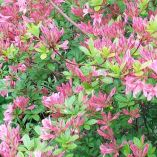 Azalea mollis Assorted Colours