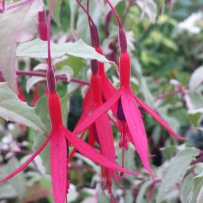 Fuchsia (Hardy) magellanica 'Versicolor'