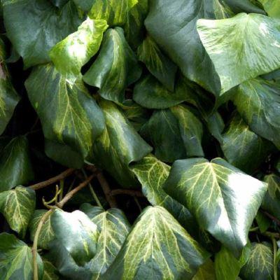 Hedera colchica Sulphur Heart' ('Paddys Pride')