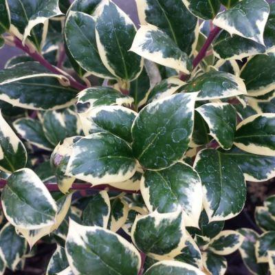 Ilex aquifolium 'Silver van Tol'