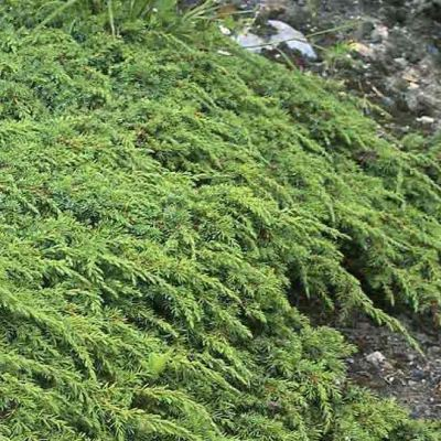 Juniperus communis 'Greeen Carpet'