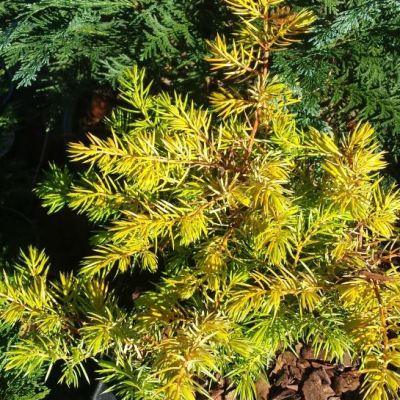 Juniperus conferta All Gold' (Sea Juniper)