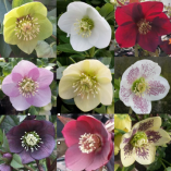 Helleborus value collection