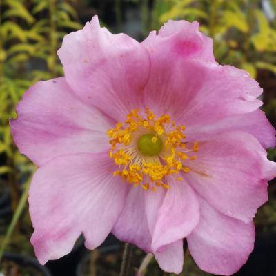 Anemone hybrida 'September Charm'