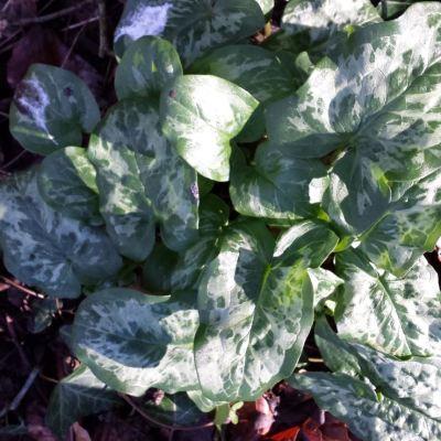 Arum italicum 'Green Marble'