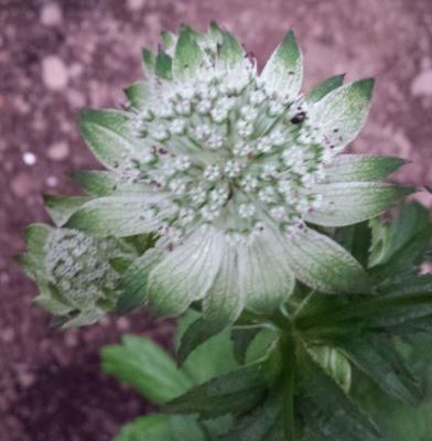 Astrantia major improved strain