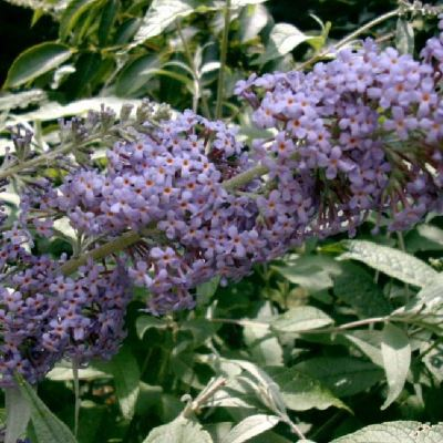 Buddleia 'Lochinch'