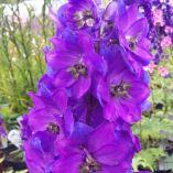 Delphinium 'Magic Fountains Dark Blue with a Dark Bee'