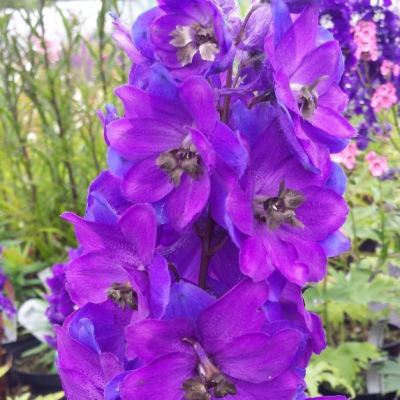 Delphinium 'Magic Fountains Dark Blue with a Dark Bee'