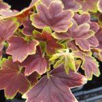 geranium vancoover